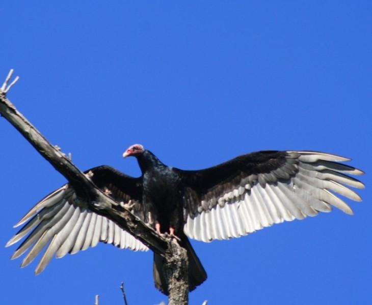 Cuervo paraguay 800